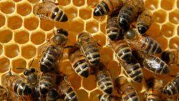 Beneficios-del-polen-de-abeja-para-la-salud-4